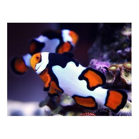 Payasito Amphipriom Percula Picasso