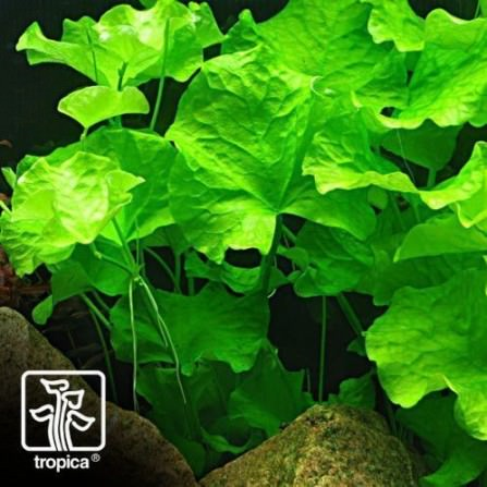 Tropica Nymphoides spec. -Taiwan-
