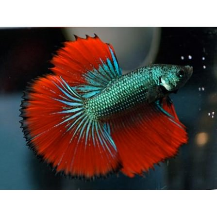 Betta Media Luna Macho 4-5 cm