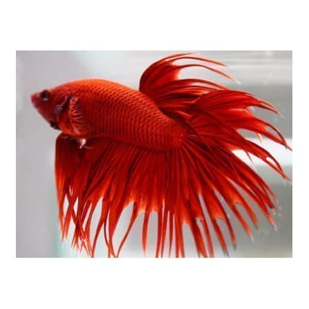 Betta Splendens Cola de Corona Macho
