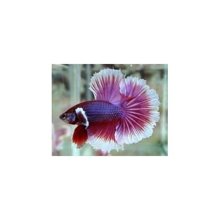 Betta Macho Dumbo Media Luna 3-4 cm