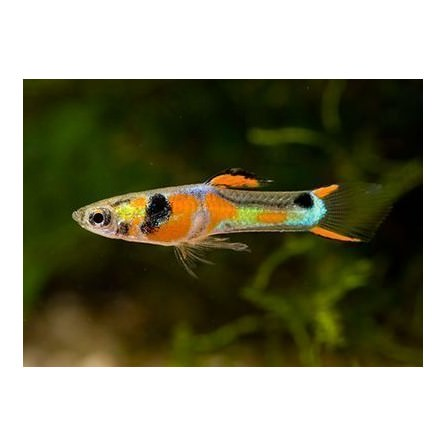 Guppy Endleri Asiatico