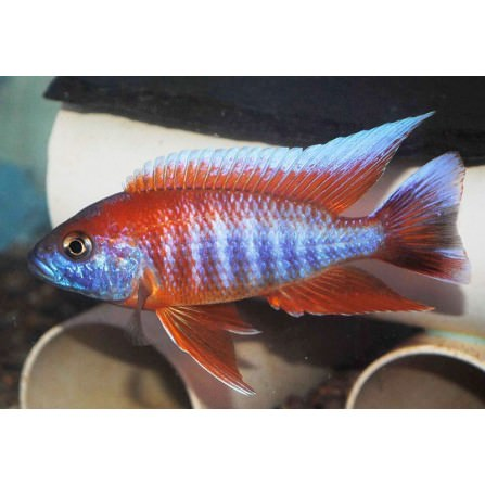 Aulonocara Eureca super red macho 7-8 cm.