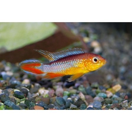 Apistogramma Agassizi Fire Red