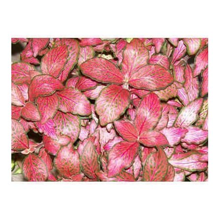 """Fittonia """"Forrest Flame"""""""