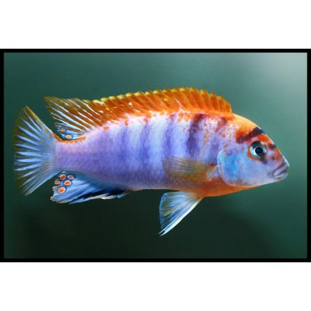 Labidochromis Hongi Red Top