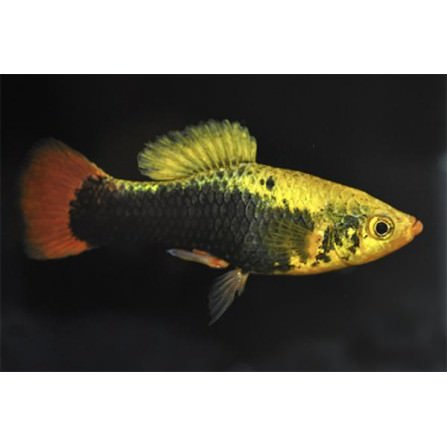 Platy Hawaii multicolor velo 3.5-4 cm