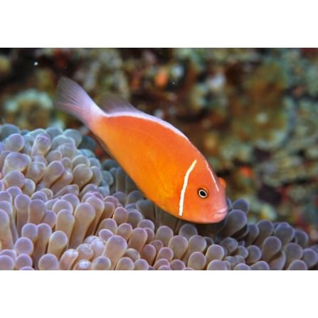 Payasito Rosa (Amphipriom Perideraion)