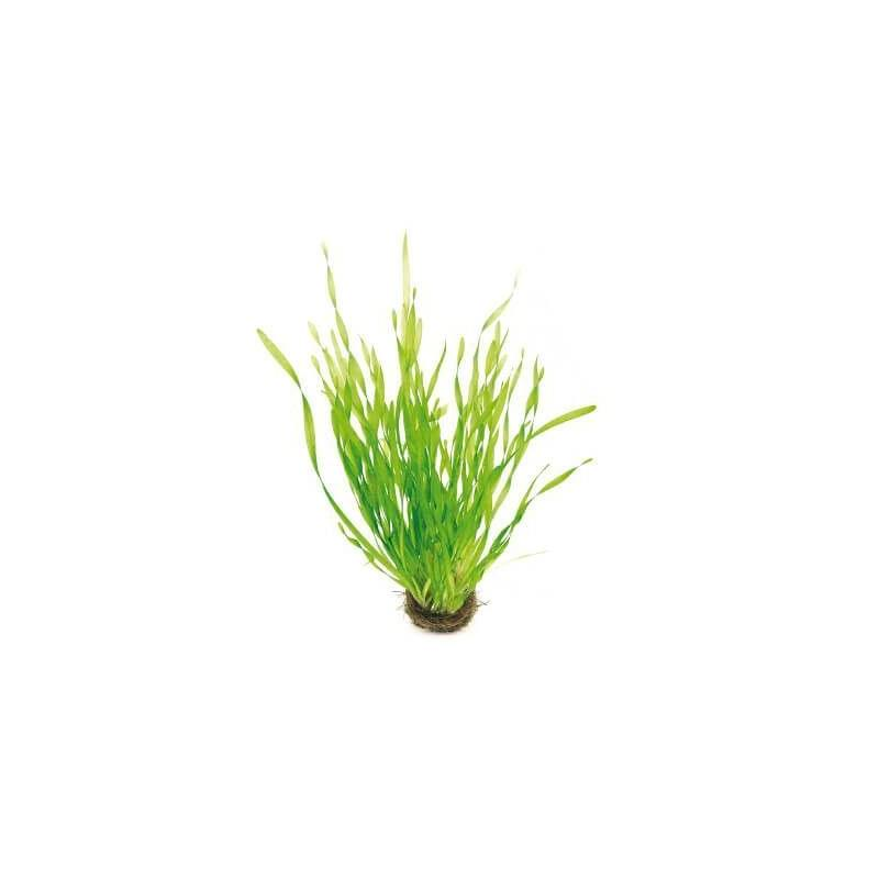 Vallisneria asiatica Maceta